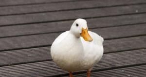 Weekly Expressions #72 – Pagar o Pato